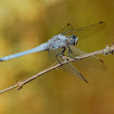Southern Skimmer