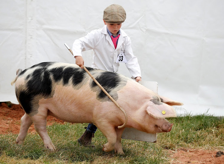 A boy shows a Gloucestershire Old Spot pig during judging at the Royal Cheshire County Show near Tabley.