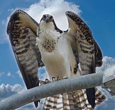 Photo: Osprey Pole Position