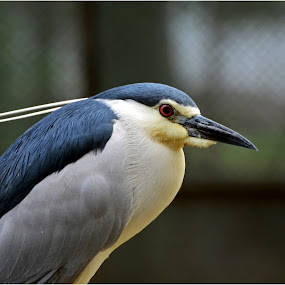heron by Boinao Oinam - Animals Birds