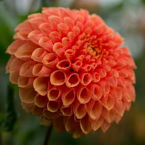 Daisy by Merina Tjen - Lim - Nature Up Close Flowers - 2011-2013 ( daisy; belgium; orange; round; flower )