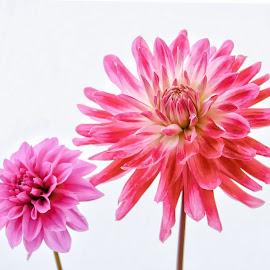 Dahlias on white by Jim Downey - Flowers Flower Arangements ( pink, white, black, purple, dahlias )