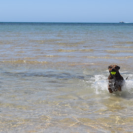 Beach fun by Ester Ayerdi - Animals - Dogs Playing ( doggie, dogs, dog playing, beach, dog )