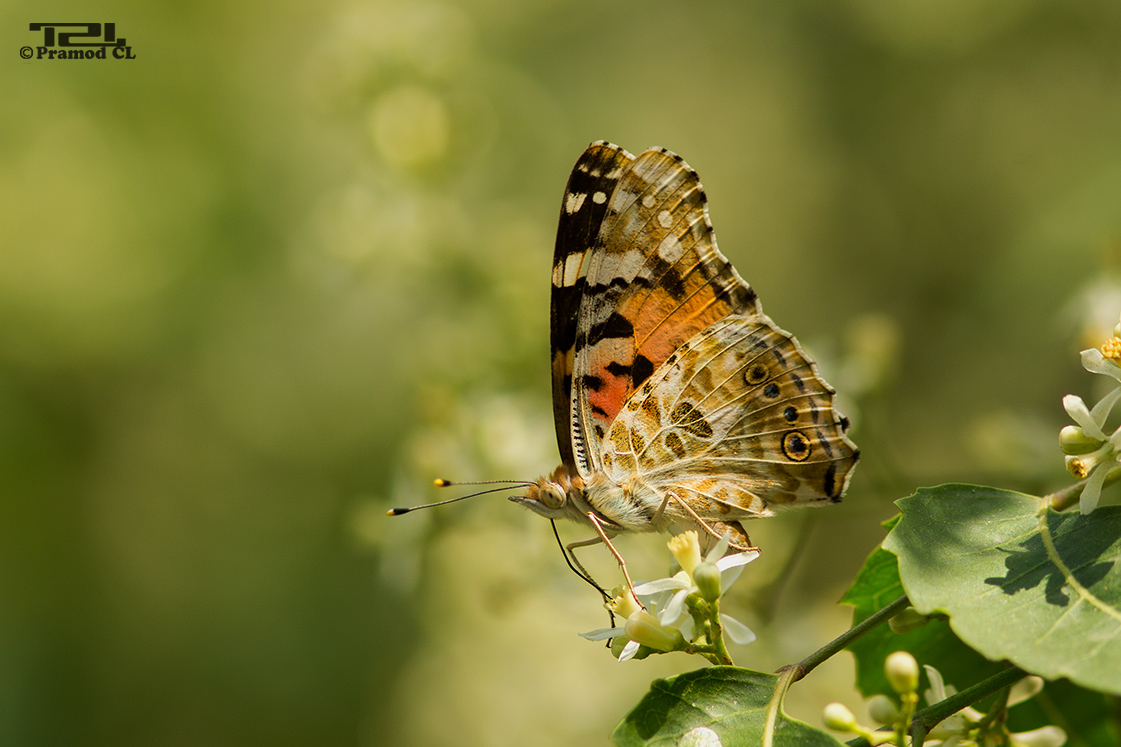 Vanessa cardui (Painted lady)