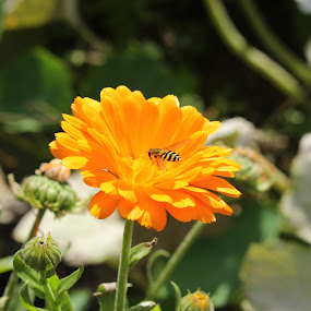 ON a sunny day by Michelle Ng - Flowers Flowers in the Wild ( nature, insect, hard at work, sunny, flower )