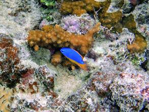 Photo: Chrysiptera taupou (Fiji Blue Devil Damselfish), Naigani Island, Fiji