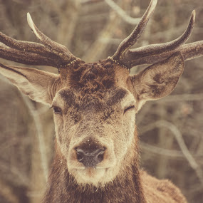 You got it, babe! by Adrian LUPSAN - Animals Other ( transilvania, stag,  )