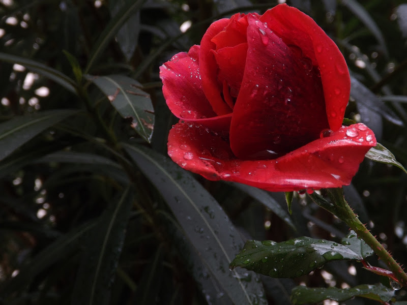 rosa rossa di lm27