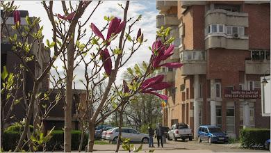 Photo: Magnolie - din Turda, Str. Libertatii, spatiu verde - 2019.04.12