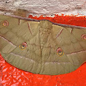 Oak Silk Moth