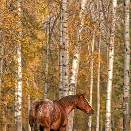Among the Aspen by Twin Wranglers Baker - Animals Horses (  )