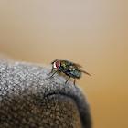 European Green Blowfly