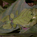 Giant Leaf Insect - Phyllium