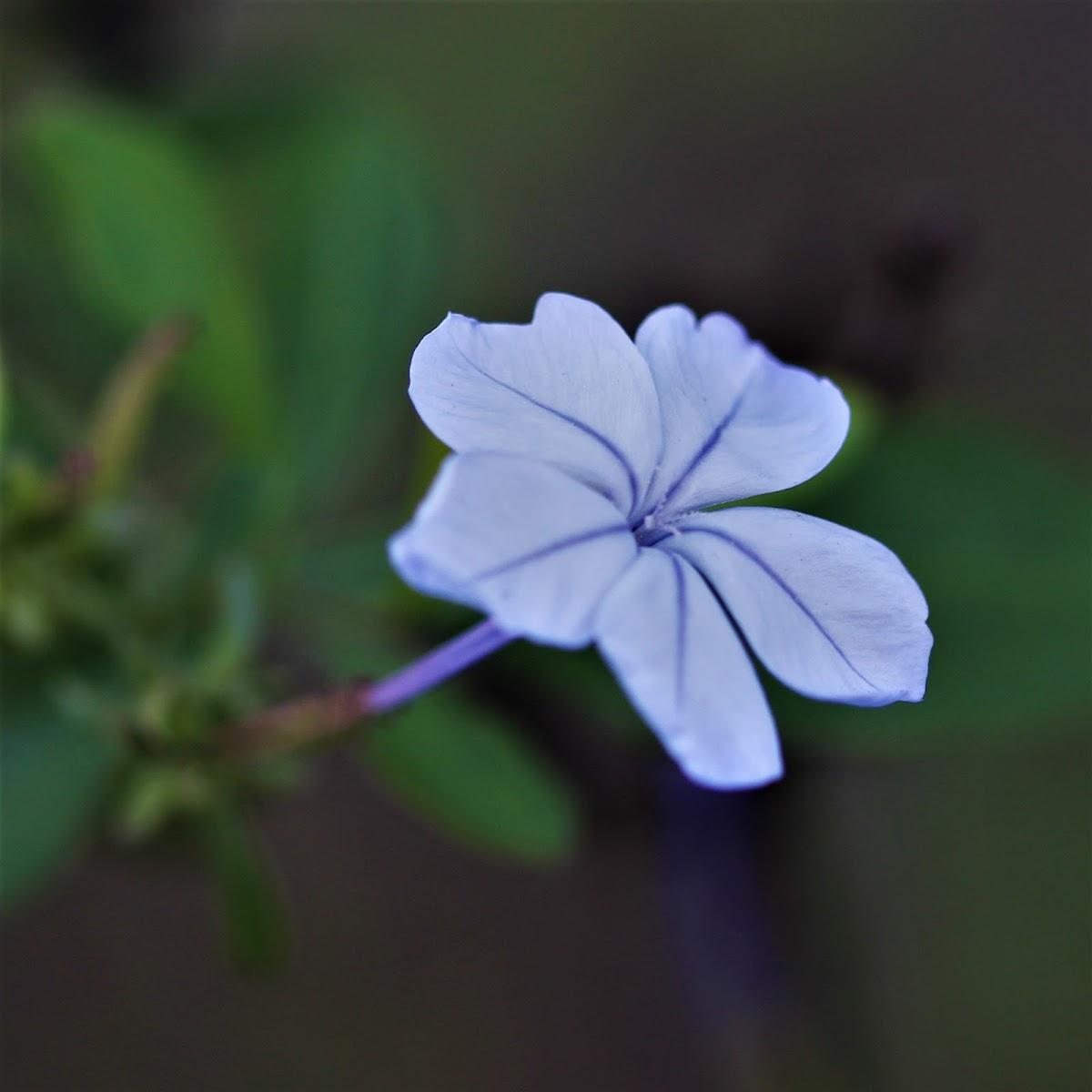Blue plunbago