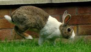 ผลการค้นหารูปภาพสำหรับ กระต่ายเคาะเท้า