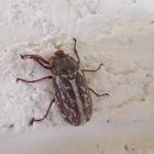 Striped June Beetle