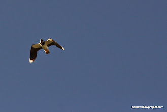 Photo: A lapwing soars over my head, making it's incredibly cool vocalization that sounds like some kinda sci-fi effect