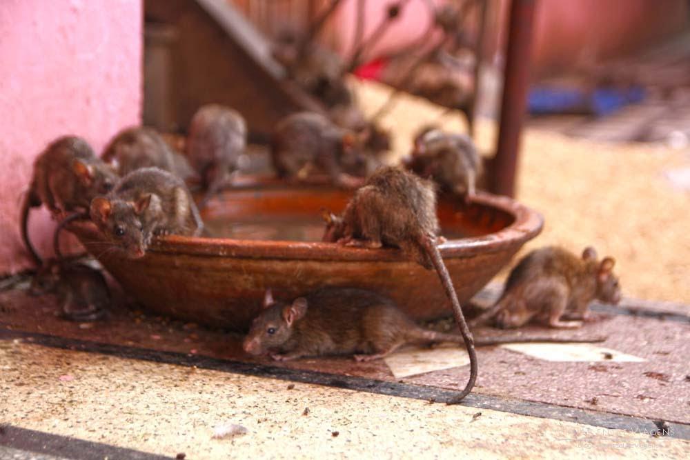 O Templo dos Ratos na Índia, um passeio até Karni Mata desde Bikaner | Índia