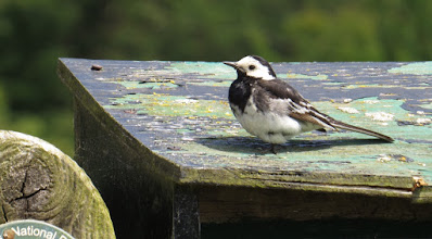 Photo: Pied wagtail 16 July 2015 © Updale Wildlife Recorder 2015