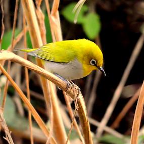 Oriental white eye by Manoj Kulkarni - Animals Birds ( bird, nature )
