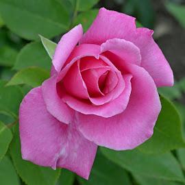 Rose 02 by Carmen-Laura B - Flowers Single Flower ( rose, summer, pink, garden, flower )