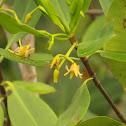 Flor de mangle