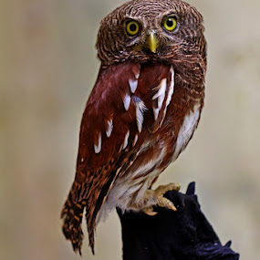 ALERT by Ian Sumatika - Animals Birds