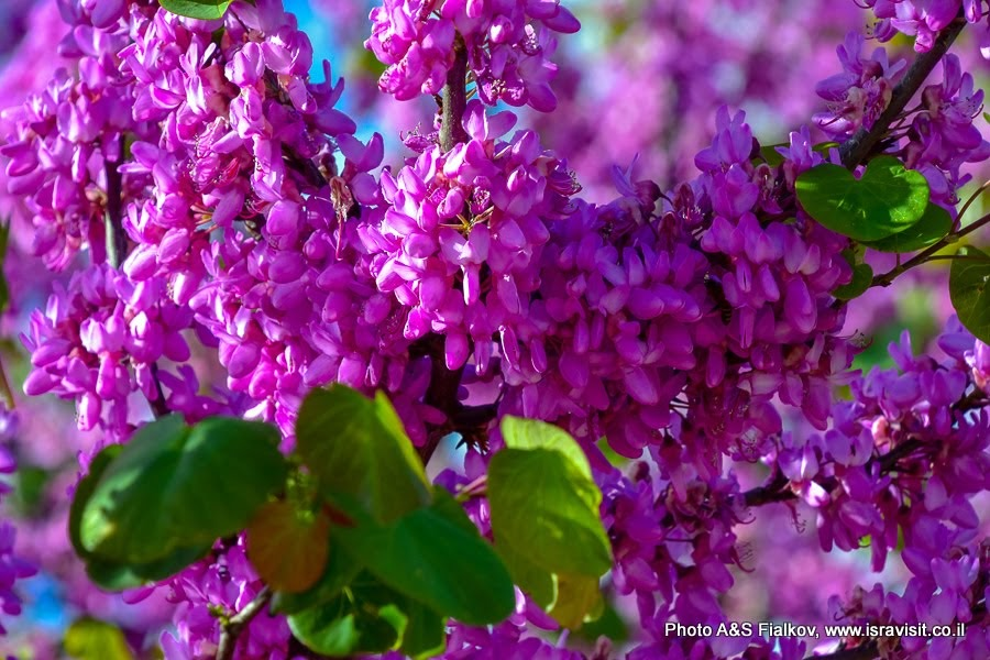 Цветки Иудина дерева.
