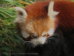 Photo: AUGENblicke: Kleiner Panda (Ailurus fulgens)  Der Kleine Panda (Ailurus fulgens), auch Roter Panda, Katzenbär,  Bärenkatze oder Goldhund genannt, ist ein Säugetier,  das im östlichen Himalaya und im Südwesten Chinas beheimatet ist und sich vorwiegend von Bambus ernährt.