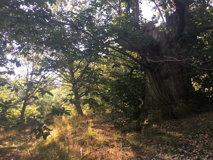 Deep woods and dense vegetation, with chestnuts trees in Riserva Poggio dell'Olmo