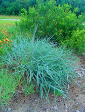 Photo: Seaside/seashore Little Bluestem or Coastal Bluestem (Schizachyrium Littorale) - The caterpillar of the significantly rare Crystal Skipper Butterfly lays its eggs on the leaves. They hatch and fly twice per year.