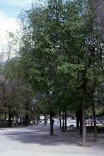Photo: Olmos ¿de Siberia? (Ulmus pumila)