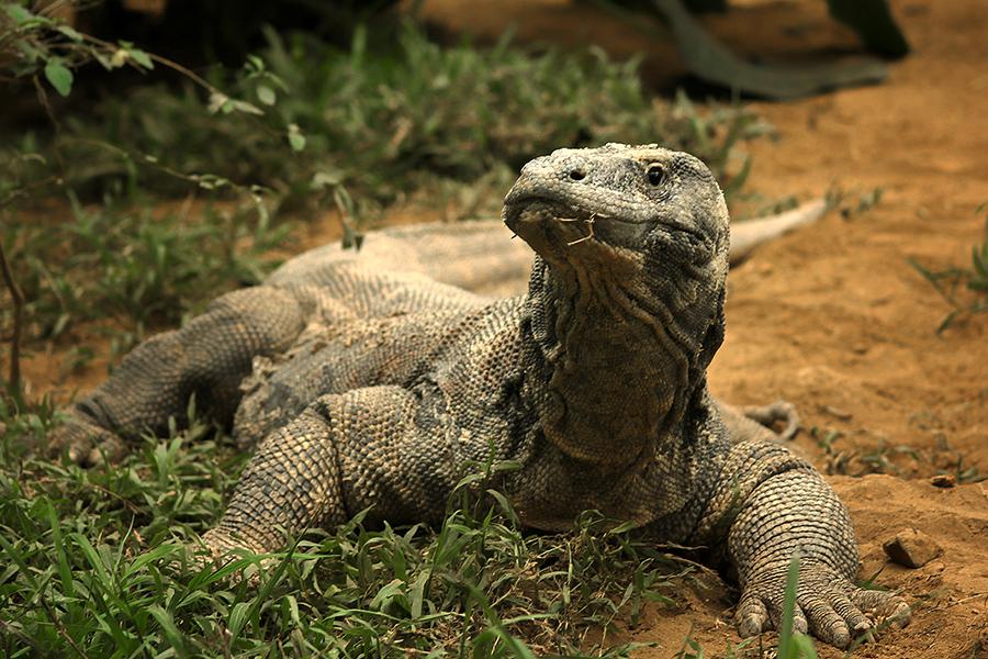 KOMODO by Erwin Kurniawan - Animals Reptiles
