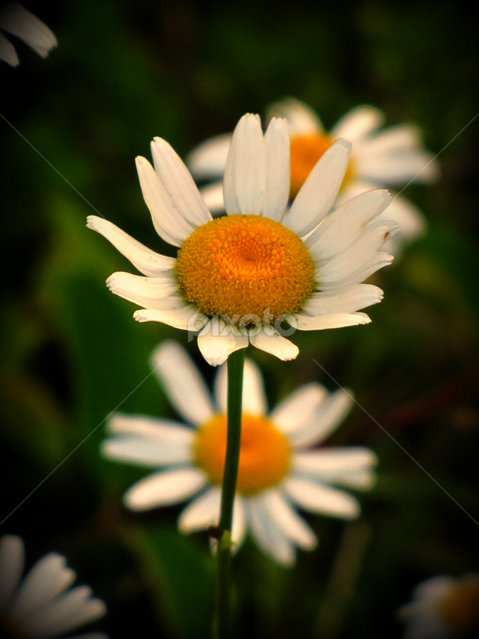He loves me! by Freda Nichols - Nature Up Close Gardens & Produce ( plant, wild, pwcflowergarden, daisy, flower )