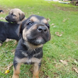 by Matthew Edwards - Animals - Dogs Puppies ( labrador, mixed breed, puppy, puppie, ridgeback, pup, puppy portrait, pups, puppies, cute )