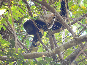 Photo: Howler Monkey