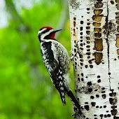 The business woodpecker - peck