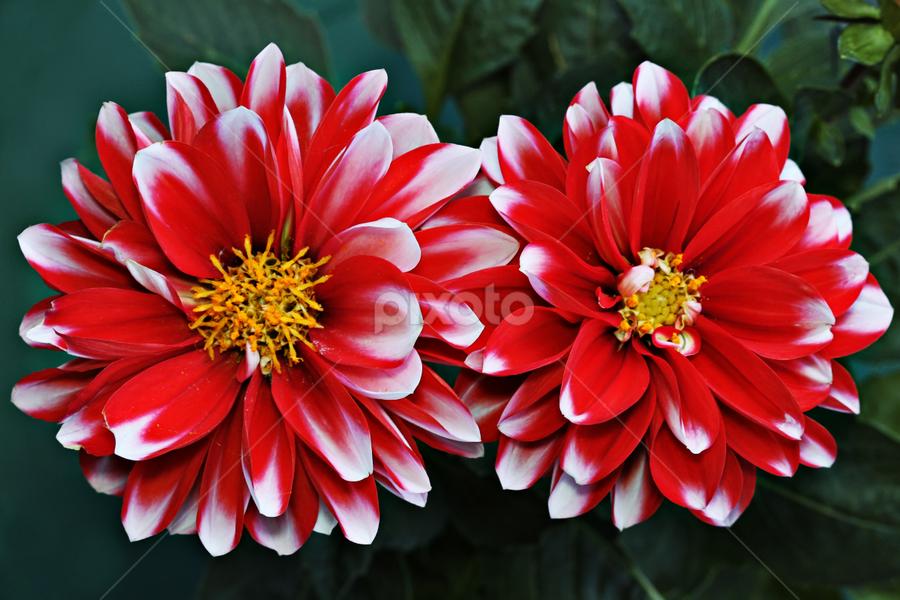 Red-White Dahlias by Nikola Vlahov - Nature Up Close Flowers - 2011-2013 ( up close, showy, petals, dahlias, wallpaper, white, bokeh, red, nature, background, flowers, dahlia, flower, closeup )