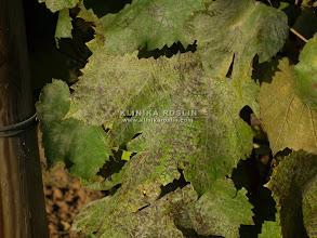 """Photo: Mączniak prawdziwy - odbarwienia liści po """"zejściu"""" grzybni"""