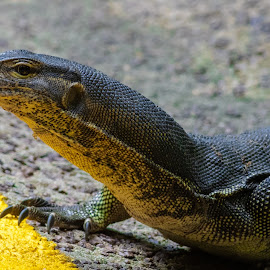 Why did the lizard cross the road? by Bert Templeton - Animals Reptiles ( singapore, city, road, street, spots, yellow, animal, monitor, zoo, reptile, lizard, park,  )
