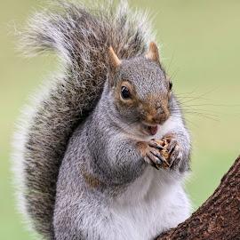 Looking good by Kathy Jean - Animals Other Mammals ( standing squirrel, squirrrel, mammal, grey squirrel, animal )