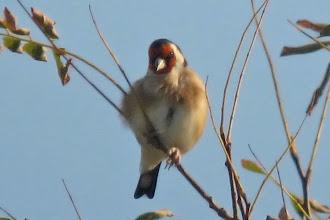 Photo: European Goldfinch