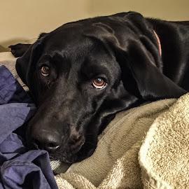 Bella by Jeffrey Genova - Animals - Dogs Portraits ( labrador, dog, lab, black, eyes,  )