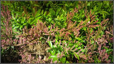 Photo: Cătină rosie (Tamarix ramosissima) si  (Hippophaë rhamnoides L.) - de pe Calea Victoriei, Nr.5, spatiu verde, gard viu - 2017.05.02