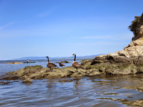 Photo: Canada geese and black oyster catchers on Rat Rock with boats in background