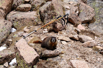 Photo: Marmot playing with my poles