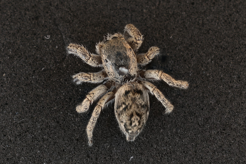 Photo: Habronattus sp. from Cedar Point Biological Station, Ogalalla, NE, USA.