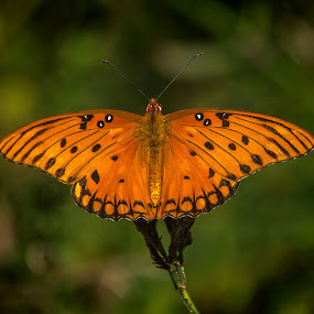 Fritillary  by Roy Walter - Animals Insects & Spiders ( autumn, bug, gulf fritillary, insect, animal )