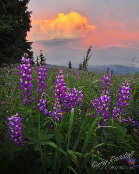 Photo: Lupine and a thunderhead from Mount Hood, Oregon.