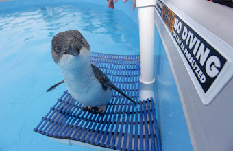 Photo: One of the rescued oil-coated penguins recuperates in a water tank, seen during a media call at the oiled wildlife center in Tauranga on October 11, 2011 in Tauranga, New Zealand.  via http://bit.ly/usdmdI